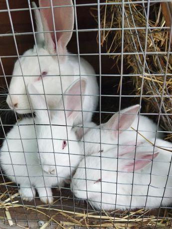 Кролики  кролі м'ясних порід
