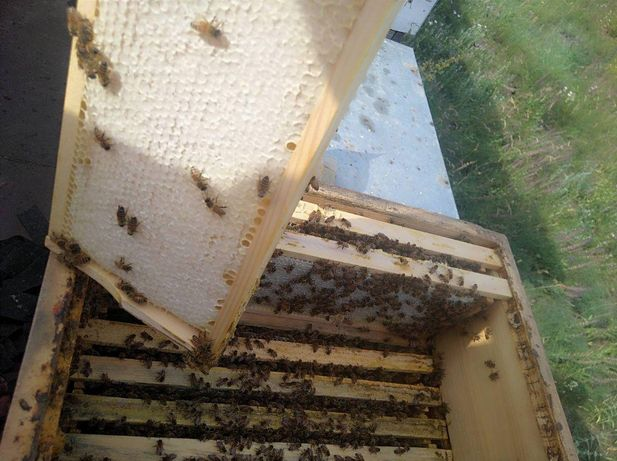 Varro Tolerance. Карника Плодные. В сезоне 2021г. Пчелиные матки.