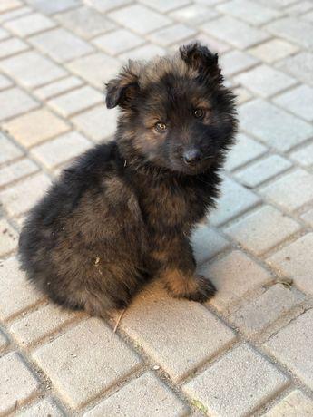 німецька  собака