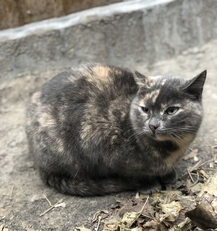 Черепаховая трехцветная кошка мраморный окрас стерилизованная