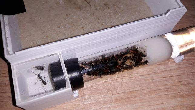 Mrówki Camponotus ligniperda Q2020 +37w