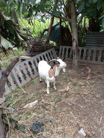 Vendo cabra médio porte