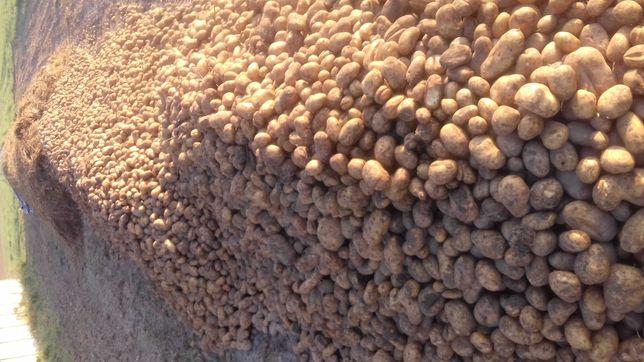 Ziemniaki Tajfun na oborniku bydlęcym - Bełchatów - dostawa.
