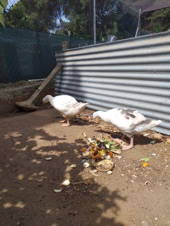Gansos patos pombos