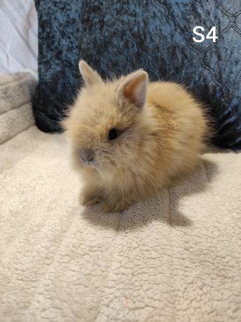 DO ODBIORU!!! Królik karzełek Teddy miniaturka długowłosy