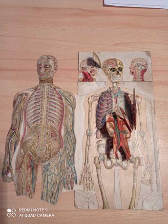 unikatowy model anatomiczny człowieka
