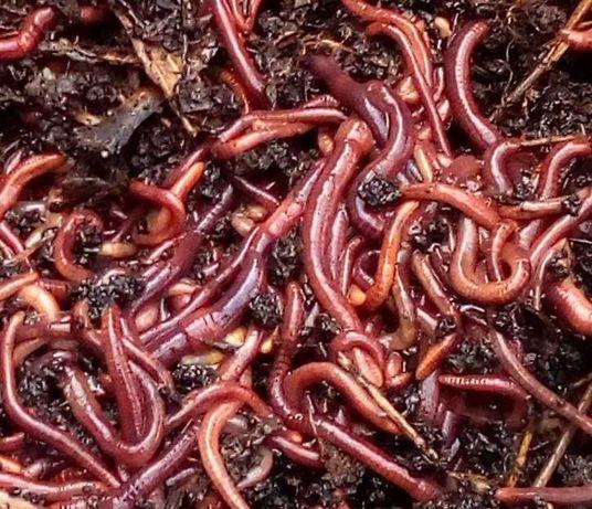 ½ Kit c/ mais de 1500 minhocas Californianas para vermicompostagem