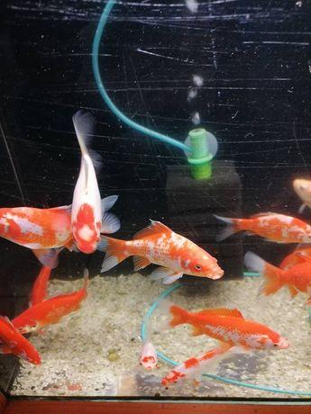 Karaś ryby do oczka wodnego i stawu