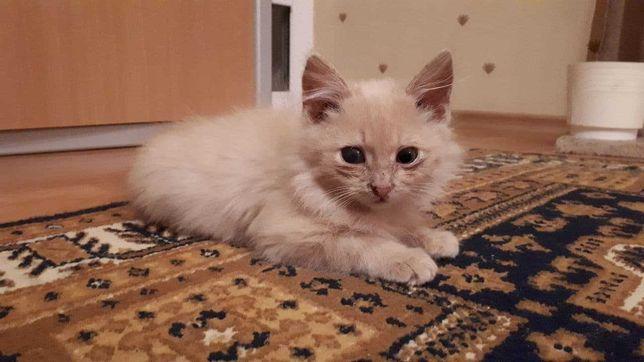 Отдам в хорошие руки персикового котенка (мальчик)