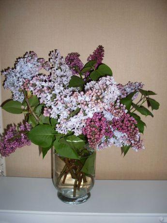 Bez dwukolorowy Bukiet kwiatów