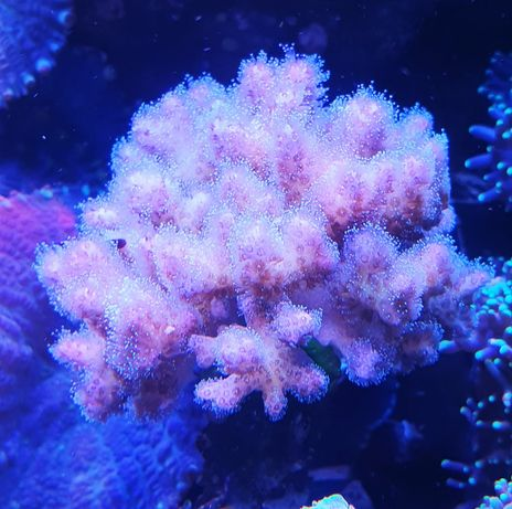 Pocillopora damicornis SPS akwarium morskie