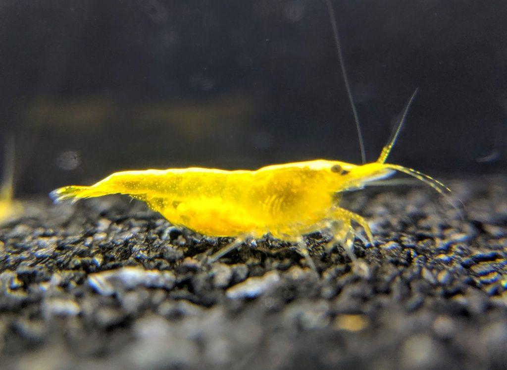 *OFERTA DE PORTES* - Camarões Neocaridinas yellow gold back (seleção)