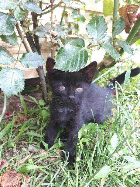 Oddam malego czarnego kotka