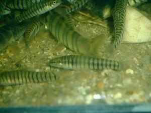 Yunnanilus pulcherrimus