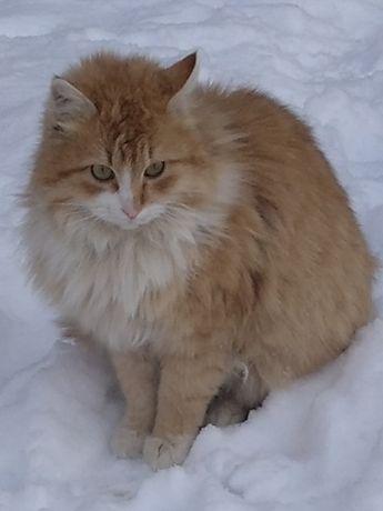 Найден рыжий пушистый кот, Хозяин объявись
