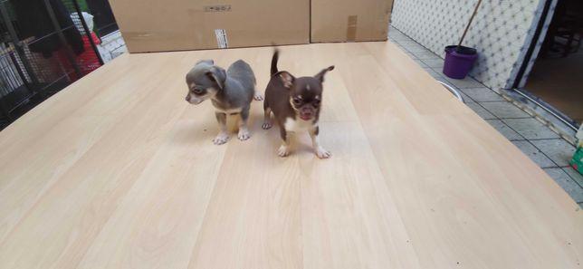 Chihuahua miniatura chocolate e cinza azul de pelo curto