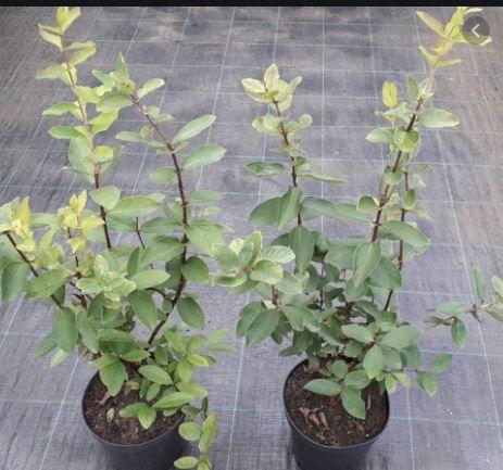 Sadzonki Owocujące Jagoda Kamczacka! 80cm 7 Odmian Miododajne CAC