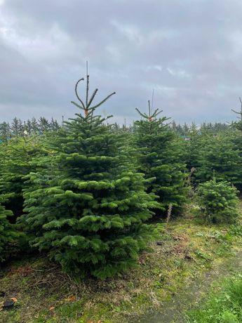 Jodła kaukaska Dania Hurt 2,0-2,5m - mała plantacja