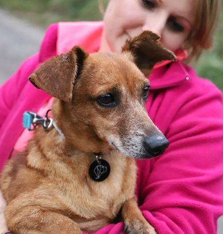 EDI jamnikowaty pies szuka domu