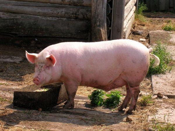 Продається велика свиня.