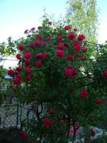 Продам саженцы красной вьющейся розы