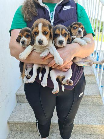 Beagle Beagle top