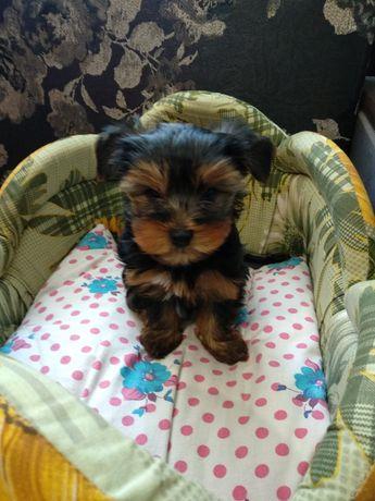 Продается щенок йоркширского терьера г. Луганск