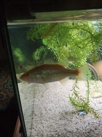 Achigã ( criado em aquário)