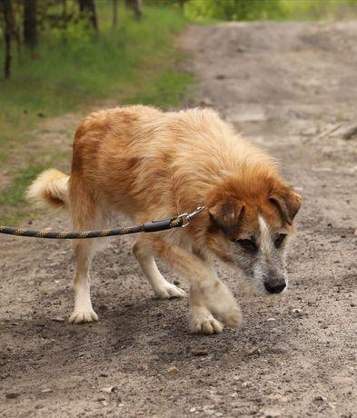 Laki, starszy pies szuka domu