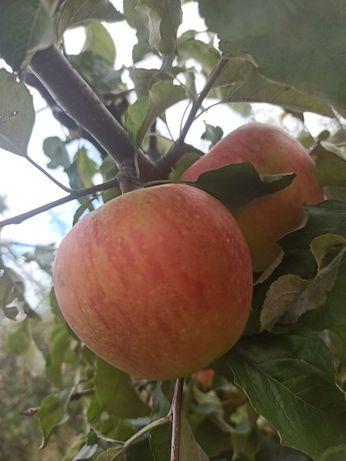 Яблучка домашні різні сорти