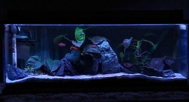 Akwarium 112l pyszczak rdzawy