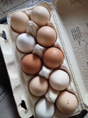 Jaja jajka lęgowe