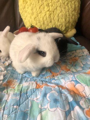 Декоративний Кролик Міні Лоп, чистокровні дітки