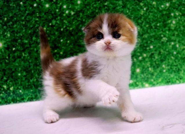 Супер красивая шотландская кошечка!