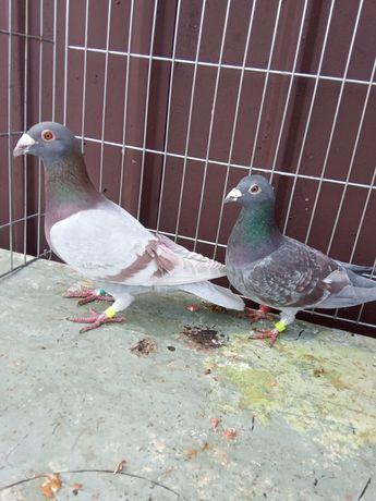 Para gołębi pocztowych indygo