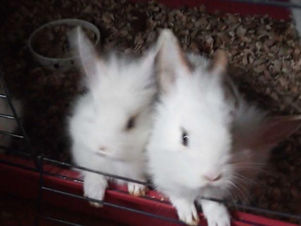 Sprzedam króliki miniaturki 50 zł sztuka
