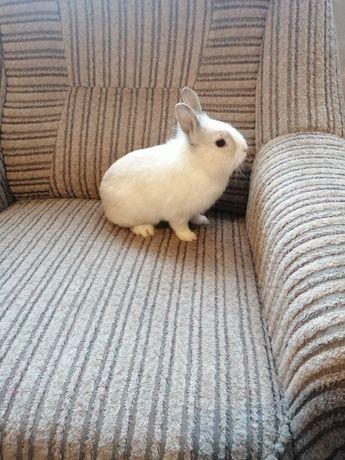 Króliczek karzełek, króliczek miniaturka, królik domowy