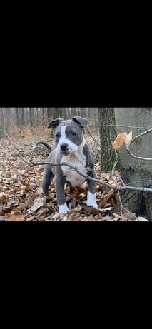 American Starfordshire Terrier