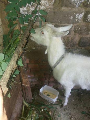 Подам козачку