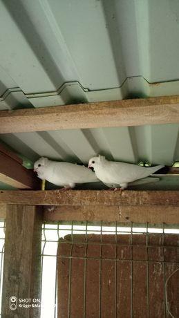 Gołębie.  Ozdobne