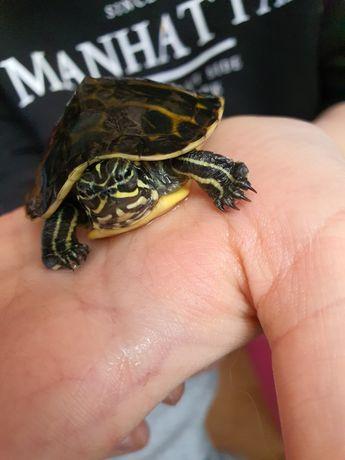 Pokarm dla żółw wodno-lądowy