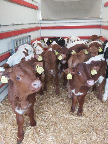 Do sprzedania byczki i jałóweczki
