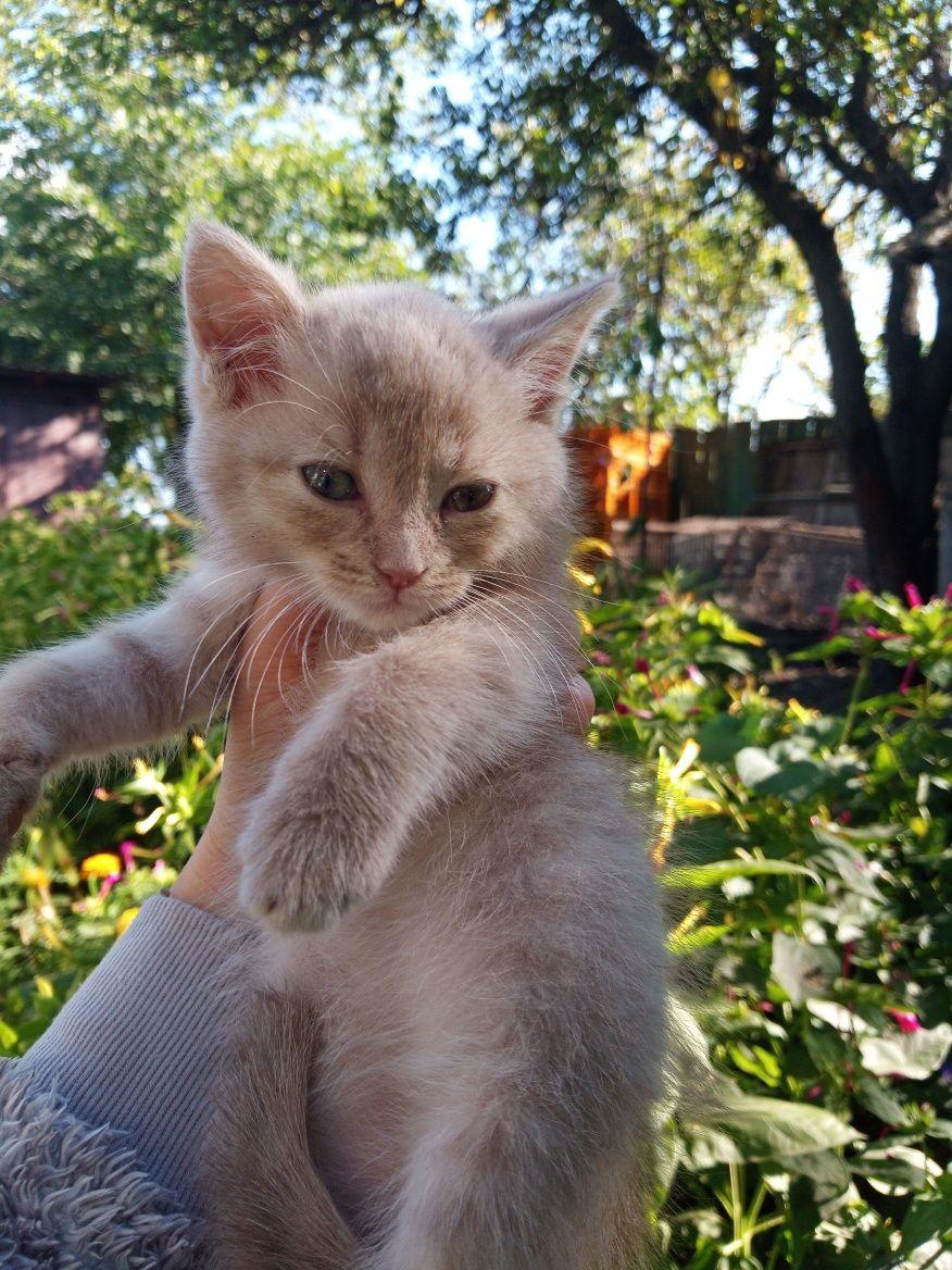 Продам котёнка девочку порода Као Мани Метис кошечка