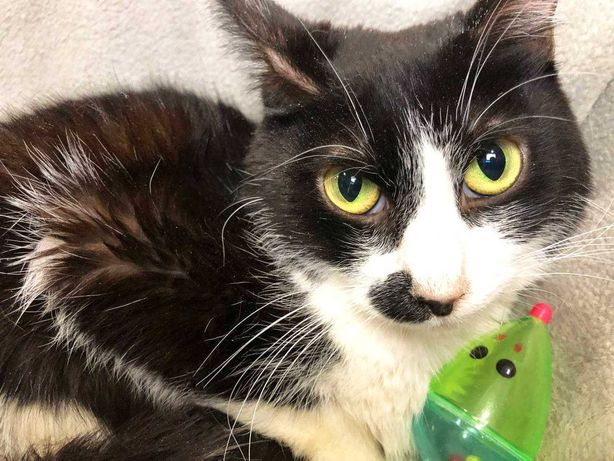 Гарненька чорно-біла киця Елка 1 рік шукає сім'ю! кішка кіт кот кошка