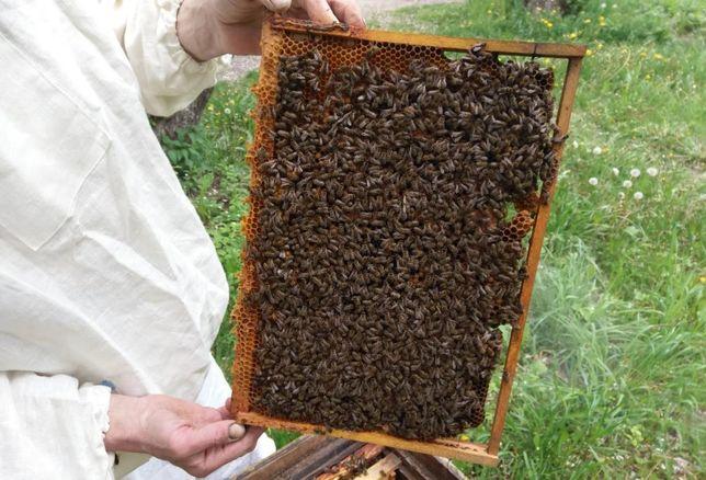 Спокойная Пчелиная матка от племенной матки Карпатка (Вучковская)