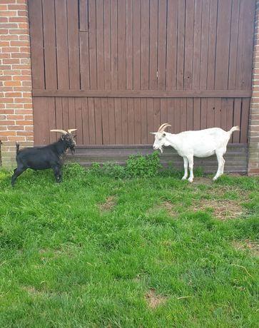 Koza mleczna biała i koziołek