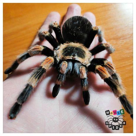 домашнее животное паук птицеед Brachypelma огненноколенный
