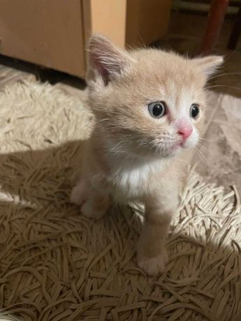 Дарю котенка в хорошие руки