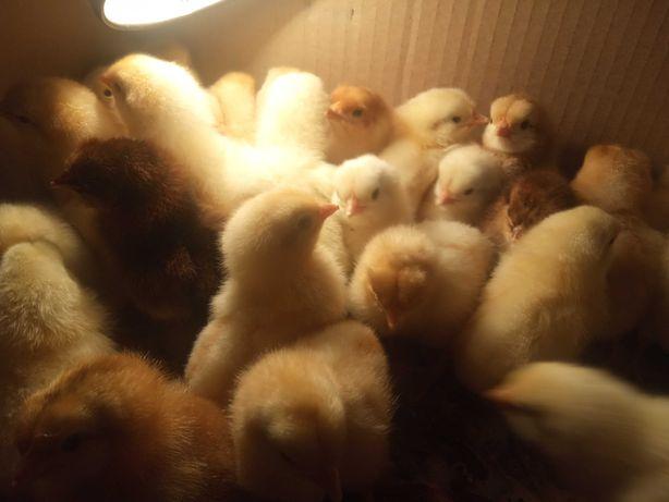 Цыплята, выведенные 13 мая