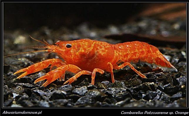 Rak karłowaty z Patzcuaro sp. Orange